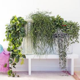 8 plantes retombantes pour créer un magnifique rideau végétal chez vous