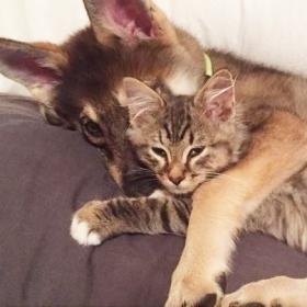 Ce husky a adopté ce chat dans un refuge et depuis, ils sont inséparables !