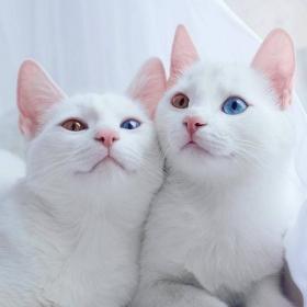 Ces 2 chats blancs aux yeux vairons ont un regard absolument magnifique