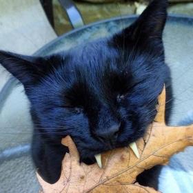 Découvrez Monkey, le chat noir aux vraies dents de vampire !