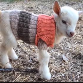 3 bébés chèvres reçoivent de petits pulls tricotés main pour rester bien au chaud