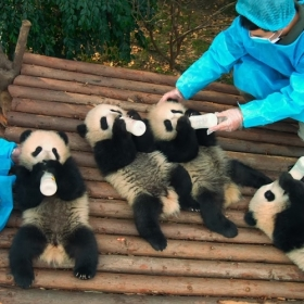 Pandas, le film adorable et touchant qui va forcément vous faire fondre