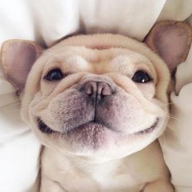 Découvrez Milo, le bulldog narcoleptique qui va vous faire sourire illico !
