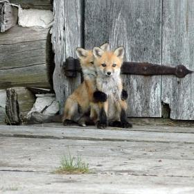 17 renardeaux tellement mignons qu'ils vous donneront le sourire illico