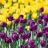 10 choses que vous ne saviez pas sur les tulipes