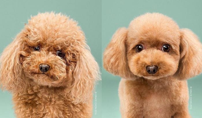 8 photos de chiens avant et après leur passage chez le toiletteur