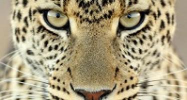 La mode léopard, c'est juste un mythe ou ça peut vraiment se porter au quotidien ?
