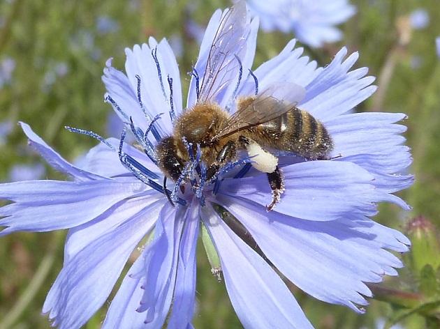 abeille-qui-butine-le-pollen-chicoree