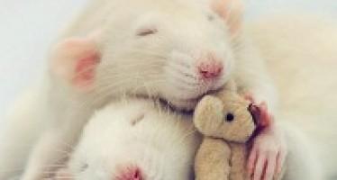 J'aime les rats et alors ?