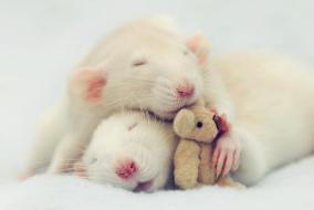 bebe-rat-pourquoi-j-aime-les-rats