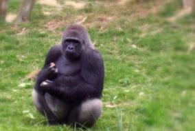 gorille-dans-la-brume