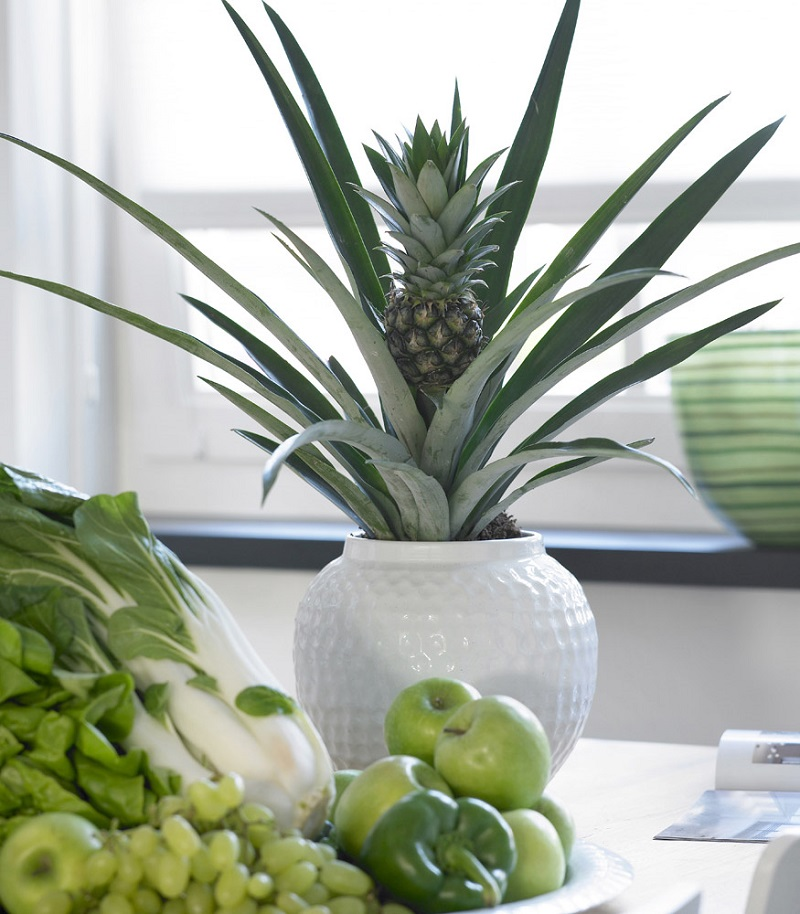 plante-anti-ronflement-bromelia-ananas