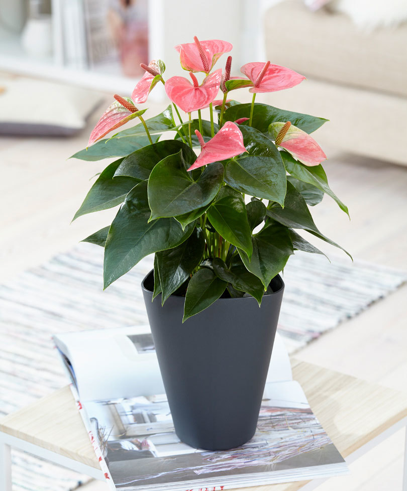 anthurium-plante-salon