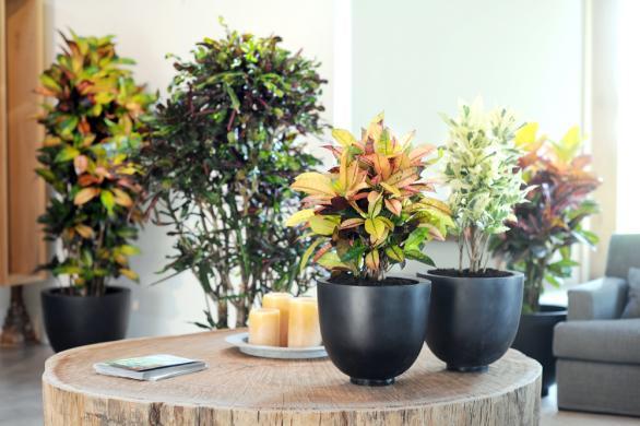 croton-plante-d-interieur