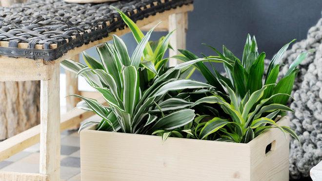 dracaena-plante-d-interieur