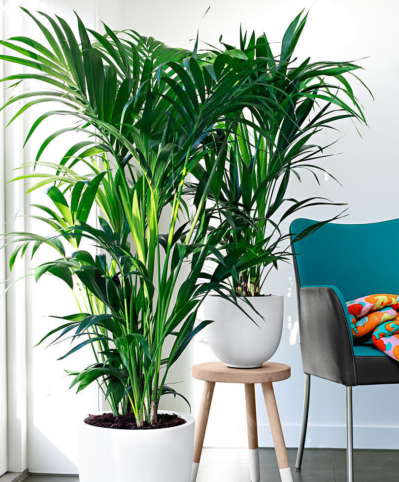 kentia-plante-salon