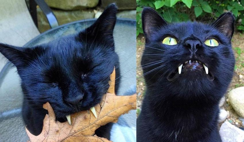 Découvrez Monkey, le chat noir aux vraies dents de vampire