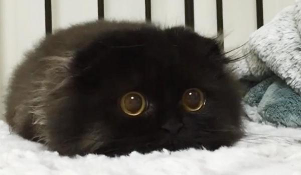 impossible de ne pas craquer pour gimo  le chat aux yeux immenses et trop mignons